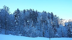 Winterwald (HeiAld) Tags: forst tanne buche ahorn winter wald toggenburg switzerland