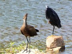 Waterfowl (Mandara Birder) Tags: scopusumbretta egrettaardesiaca