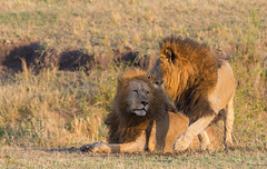 The boys are back in town! (WhiteEye2) Tags: lions male olaremotorogiconservancy kenya africa wildlife nature