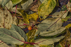 Last Days of Autumn (Paul B0udreau) Tags: nikkor70300mm photoshop canada ontario paulboudreauphotography niagara d5100 nikon nikond5100 raw layer autumn fall leaves apple crabapple red fallen season