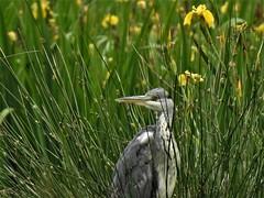 Héron cendré (chriscrst photo66) Tags: bird animal oiseau eau héron cendré iris jaune lac gironde nikoncoolpixp900