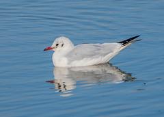 Riverside BH Gull 2