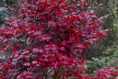 Red Red Maple (brucetopher) Tags: tree red maple redmaple decorative festive beautiful beauty fall autumn leaf leaves foliage change changing changeofseason fallfoliage color colorful primary