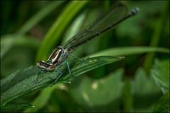 2_DSC6544 (dmitryzhkov) Tags: ukraine life animal odonata moscow russia color colour wildlife documentary dragonfly insect macro closeup hunt hunter macrophotography nature dmitryryzhkov victim