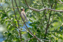 2017 Cedar Waxwing 2 (DrLensCap) Tags: cedar waxwing weber spur trail labagh woods chicago illinois abandoned union pacific railroad right way il bird rails to trails cook county forest preserve district preserves robert kramer