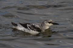 Black guillemot (jon lees) Tags: winterplumage blackguillemot bird riverlagan belfast countyantrim northernireland wildlife urbanwildlife