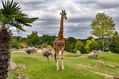 Girafe (balese13) Tags: 1855mm beauval loiretcher saintaignan girafe nikon zoo centre 1000v40f