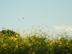 Butterflies (BUN BUKU) Tags: 蝶々 コスモス cosmosfield olympusomdem5markii nikkorh・c5cmf2