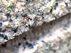 An Ant on a rock by the HD Macro Lens for iPhone (iPhone XS MAX)! (DCKina) Tags: iphonex iphonexs iphonexsmax iphonexr iphoneography iphonephotography bee ant dragonfly spider flower caterpillar grasshopper ladybug bug insect insects naturephotography naturelovers garden flowers flowerphotography wildflowers bokeh macrolens macro macros macrophotography