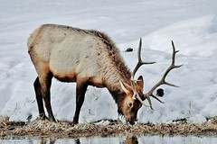Male Elk Grazing (Susan Roehl) Tags: yellowstoneinwinter2017 wyoming usa elk female resting riverbank highelevationanimals animal mammal herbivore mostactiveearlyinthemorning grass feedinlargemeadows famousformatingcalls socialspecies willseethemyearround sueroehl photographictours naturalexposures lumixdmcgh4 100400mmlens handheld takenfromroad cropped snow ngc coth5