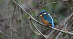Fishing on the Bridgwater and Taunton Canal (Cosper Wosper) Tags: kingfisher thebridgwaterandtauntoncanal somerset