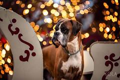 52/52 santa's sledge (Kerstin Mielke) Tags: kurt boxerdog 52weeksfordogs light christmas bokeh sledge