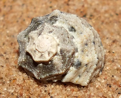 Sloping gibbula top snail (Rubritrochus declivis) (shadowshador) Tags: sloping gibbula top snail rubritrochus declivis neomura eukaryota opisthokonta holozoa filozoa animalia lophotrochozoa mollusca conchifera gastropoda gastropod gastropods vetigastropoda vetigastropod vetigastropods trochida trochoidea trochidae trochinae conchology malacology invertebrate invertebrates taxonomy scientific classification biology sea snails shell shells sand sandy beach wildlife life makkah saudi arabia saudiarabia redsea