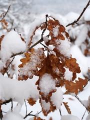 egy csöppnyi szín / a little bit of color (debreczeniemoke) Tags: tél winter hó snow fehér white erdő forest fa tree olympusem5