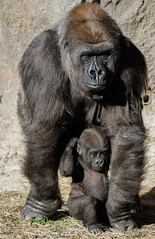 Mother and child. (rsheath76) Tags: dallaszoo gorillas baby westernlowlandgorilla faces
