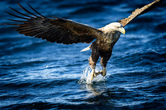 Catch o f the day (Riccardo Maria Mantero) Tags: eagle sea prey bird nature animal wildlife