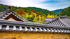 Yangdong Village during autumn (patuffel) Tags: yangdong folk village south korea foliage autumn colours trees gingko maple leaf forest leica m10 summicron 20 2018