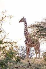 Reticulated giraffe and friend. (4 Loomis) Tags: africa reticulatedgiraffe sasaablodge samburucounty kenya africansafari luxurytravel thesafaricollection