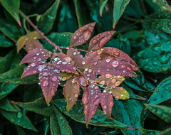 Oregon High-light. (Omygodtom) Tags: plant rain weather wet raindrop nature natural nikkor outside tamron tamron90mm d7100 abstract flora red usgs