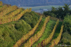 Autumn in vineyard (darko.jakovac) Tags: nikon d750 nikond750 sigma 150600 sigma150600 contemporary telephoto dolenjska slovenija slovenia slowenien discover explore trip travel traveling relax view viewpoint ngc outdoor outdoors outside hiking adventure perspective activities roam visit environment explorers ecological nature landscape scenery scenic idyllic beauty beautiful season seasonal unique perfect superb magnificient stunning impressions outstanding popular perfection colors colorful postcard wallpapper countryside rural autumn fall vineyard green lines natural naturephoro naturephoto