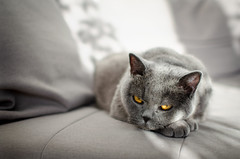 On the couch (nerths) Tags: cat shorthair blue british couch grey light eyes eyecontact nikon d5100 nikkor 35mm18 january 2018 inside home house cozy