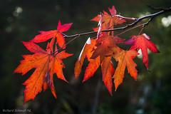 DSC05985 (De Hollena) Tags: autumn autumnleaves fall feuille herbst herbstblatt herfst herfstblad herfstkleuren leaf otoño herbstfarbe