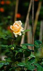 Rose (@CuongDo) Tags: flower leaf rose natural nikonaf70210mmf456d nikon sonya7mark2 ilcea7m2 mf