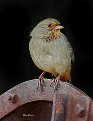 California Towhee 9232 (Ethan.Winning) Tags: californiatowhee towhee prizewinner oldborgesranch northerncalifornia sparrows