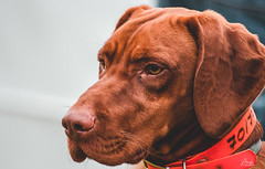 Animal Training Show - Dog (p_krisztian) Tags: dog hunting day training rescue guard trainer animal pet