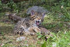 Wild kitten yawning (Tambako the Jaguar) Tags: wildcat baby kitten cute lying yawning openmouth grass vegetation portrait tierparkgoldau zoo goldau switzerland nikon d5