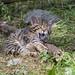 Wild kitten yawning
