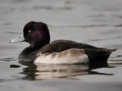 Tufted duck (PhotoLoonie) Tags: duck tuftedduck waterbird wildlife nature