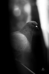 (Alastor_Karamazov) Tags: black white blackandwhite bird pigeon fly rooftop home nantes roof blur noise photography vintage bokeh light