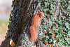 Hoernchen-2018-4144.jpg (Joachim Dobler) Tags: eichhörnchen eichhoernchen squirrel écureuil ardilla scoiattolo esquilo nature natur nagetier maple esquito wildlife animal cute naturephotography squirrellove wildlifephotography bestsquirrel nutsaboutsquirrels cuteanimals