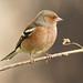 Pinson des arbres (michelpedu1) Tags: pinsondesarbres fringillacoelebs commonchaffinch passériformes fringillidés domaine des oiseaux mazeres 09