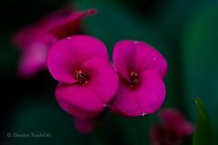 Euphorbia (dimitri_naidofski) Tags: manualfocus fujifilm nikkor nikon closeup flowers plants euphorbia macro