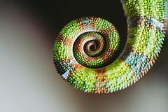 Chameleon (simonadam_ph) Tags: chameleon lizard animal naturephotography nature blue green reptile rock pet