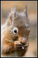 IMG_0239 Red Squirrel (Scotchjohnnie) Tags: redsquirrel sciurusvulgaris squirrel squirrelphotography mammal rodent wildanimal wildlife wildlifephotography wildandfree nature naturephotography canon canoneos canon7dmkii canonef70200mmf28lisiiusm scotchjohnnie closeup portrait
