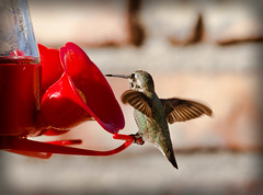 Anna Hummer Landing (http://fineartamerica.com/profiles/robert-bales.ht) Tags: arizona birds facebook foothills haybales hummingbird people photo photouploads places states calypteanna green trochilidae aves nectar brightplumage hummers southwest wild wildlife nature americanphotograph iridescent male migration bird portrait perched panoramic scenic sensational spectacular awesome magnificent peaceful canonshooter greetingcards deserthummingbird sonoran mojavedeserts californiacalypte annas stupendous superb tranquil robertbales vignette squareformat feeder