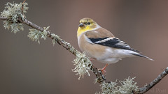 American Goldfinch (Spinus tristis) (ER Post) Tags: americangoldfinchspinustristis bird finch jenison michigan unitedstates us