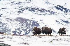 Boeuf musqué (Photolys) Tags: muskox wild flock scandinavian norway nature boeufmusqué sauvage troupeau scandinave norvège