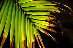 Backlit Areca Palm - Past Prime (Modkuse) Tags: palm areca nature natural plant dying colors colorful backlit fujifilm fujifilmxt2 xt2 xf35mmf2rwr fujinon fujinonxf35mmf2rwr art artphotography fineartphotography fineart photoart transitions velvia fujivelvia fujichromevelvia fujifilmxt2velvia fujifilmxt2velviasimulation