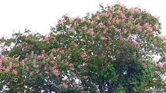 Epsom, Auckland, New Zealand (Sandy Austin) Tags: panasoniclumixdmcfz70 sandyaustin epsom epsompetanqueclub auckland northisland newzealand tree horsechestnut flowers red