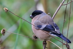 Bull Finch (Dougie Edmond) Tags: troon scotland unitedkingdom gb nature wildlife early spring