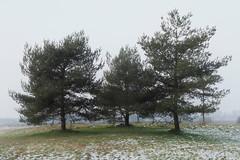 Die Drei auf dem Berg II (Doblinus) Tags: schleswigholstein altesobjektiv handewitt manuellesobjektiv baum minolta minolta3570mmf35 zhonguilensturboii zhongyi mikaton