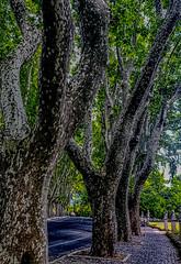 Bare Plane Tree (joseph.yarbrough) Tags: gianicolo italia italy roma rome sycamoretree bareplanetree cityscape janiculum lazio it