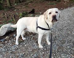 Gracie waiting for me (walneylad) Tags: gracie dog canine pet puppy cute lab labrador labradorretriever january winter newyearsday princesspark
