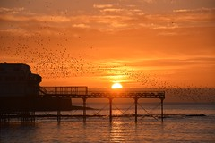 Starlings cascading down over the pier (karen leah) Tags: starlings murmuration sunset dusk twilight pier aberystwyth seascape january winter nature outdoors sea shore