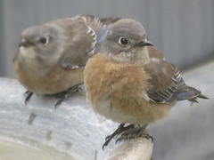 20190105 Immature Western Bluebirds - in Explore (Dolores.G) Tags: 365the2019edition 3652019 day5365 05jan19