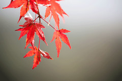 Kawaguchiko Lake in Autumn (Japan) - red maple leaves background. (baddoguy) Tags: asia autumn leaf color backgrounds beauty in nature branch plant part closeup image copy space dark famous place focus on foreground freshness fujikawaguchiko gray horizontal japan lake kawaguchi maple tree natural condition nonurban scene outdoor pursuit photography red season sunlight travel destinations vibrant wallpaper decor yamanashi prefecture